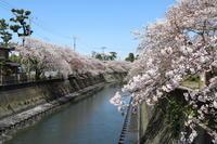 ご近所川沿いの桜、満開でリベンジ~♪4月9日撮影 - Let's Enjoy Everyday!