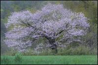 ここにも一本の櫻・・・ - 花のこみち