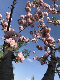 新宿御苑で桜納め - おはけねこ