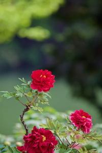 里山に咲くぼたんの花 - 四季の予感