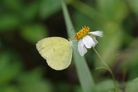 3年ぶりの与那国・石垣 -3- - 蝶と蜻蛉の撮影日記