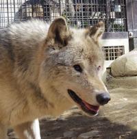 4月25日の円山動物園のオオカミとネコと小熊猫 - 黄金絹毛鼠(コガネキヌゲネズミ)