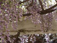 都賀川のそばの藤棚 - カンパーニュママの暮らしの雑貨とポメプーころすけと日々の出来事日記