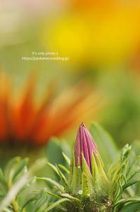春の花たち*Ⅷ -ガザニア- - It's only photo 2