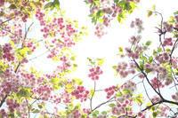 可愛いピンク - Today's one photograph