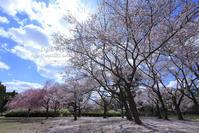枝垂れ桜 - my FHOTO