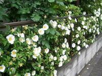 生垣で咲く花々 - 【出逢いの花々】