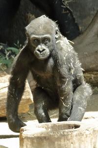 僕は1歳6ヵ月の、ゴリラの男の子(上野動物園) - 旅プラスの日記