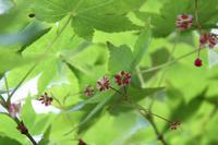 愛らしいモミジの花 - 神戸布引ハーブ園 ハーブガイド ハーブ花ごよみ