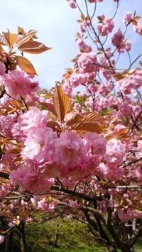 今度は、八重桜です。 - BluemounCoffee わたし日記