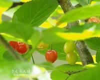 桜桃 - HAIKU/summer PHOTO