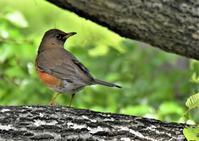 今季初のアカハラさん - 鳥と共に日々是好日