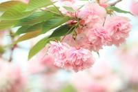 八重桜 - 木洩れ日 青葉 photo散歩