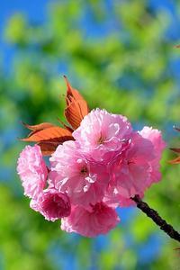 ポンポン桜 - 写心食堂
