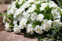なんで今頃1℃になるの(涙) - my small garden~sugar plum~