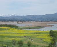 菜の花咲く福島潟 - じょんのび