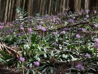ギフチョウを求めて大和葛城山へ - Wakaba photos