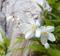 卯の花匂う… - 侘助つれづれ