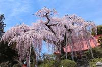 桜を見る!⑤(~大聖寺の桜~ 2019.4,20) - 風の中で~