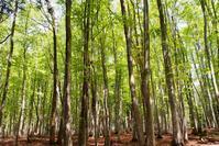 新緑の美人林 - 松之山の四季2