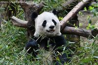 2019年3月成都大熊猫繁殖研究基地その6陽ちゃん&萌萌親子 - ハープの徒然草
