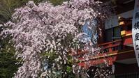 秩父神社の桜 - belakangan ini