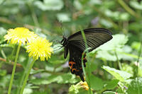 クロアゲハつつじに憩う - 蝶のいる風景blog