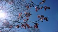 桜よ、咲いて^-^。 - 秀岳荘みんなのブログ!!