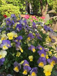 初夏のお庭のお花〜ビオラ - 素敵なモノみつけた~☆