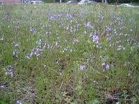 空き地で咲いていた花です - 【出逢いの花々】