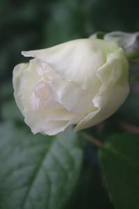 [ボレロ]開花♪ - お散歩日和ときどきお昼寝