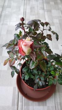 買ってしまったorz - 箱庭の小さな薔薇の記録