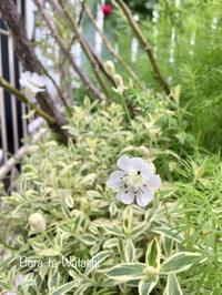 シレネユニフローラの花が咲きました。 - バラと私と時々、カルトナージュ
