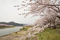 角館桧木内川堤・2019桜 - ちわりくんのありふれた毎日II