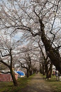 角館燈る頃・2019桜 - ちわりくんのありふれた毎日II