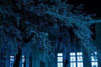 なごり雪の窓辺・序章~あがたの森の枝垂桜~ - hello,everblue