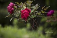 牡丹と翡翠*旧古河庭園。 - MIRU'S PHOTO