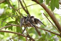 可愛すぎるエナガの幼鳥さん - 鳥と共に日々是好日
