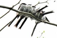 徐々に膨らむエナガ団子・・・ - 鳥と共に日々是好日