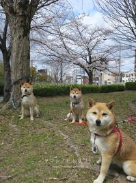 平成最後の桜② - yamatoのひとりごと