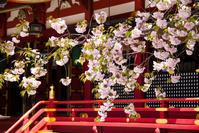 鹽竈桜の美しきこと - ノッツォのホデナス