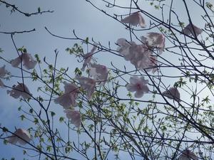 赤川浦岳へ、白のアケボノツツジを求めて -