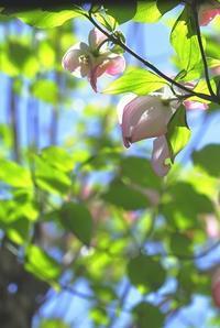 花水木の咲く頃 - 赤煉瓦洋館の雅茶子