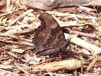 ルリタテハ(蝶)との出会い - しらこばとWeblog