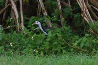 石垣島16:シロハラクイナ - 赤いガーベラつれづれの記