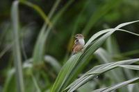 石垣島17:セッカ - 赤いガーベラつれづれの記