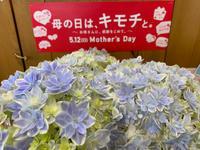 アジサイ 万華鏡、入荷しました!! - ブレスガーデン Breath Garden 大阪・泉南のお花屋さんです。バルーンもはじめました。
