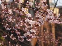 サクラが咲きました。 - ヒロムシ君のお散歩日記