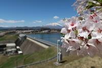 四十四田ダムの桜 - ひとりごと・・・