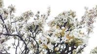 2019年4月・・・梨の花とチューリップと・・・ - 一花日和